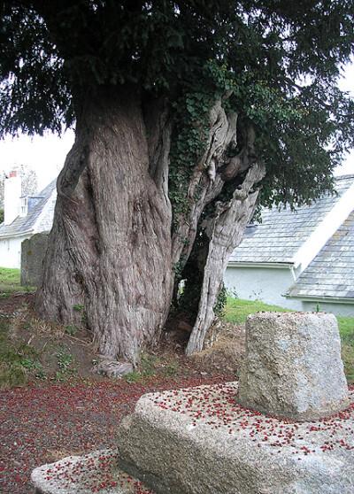 The Zeal Monachorum yew