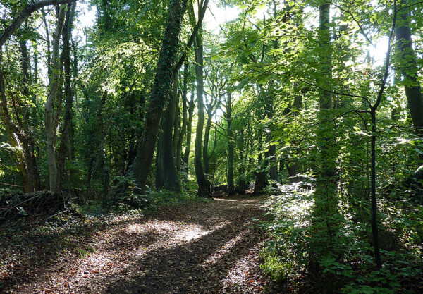 Westridge wood, above Wotton