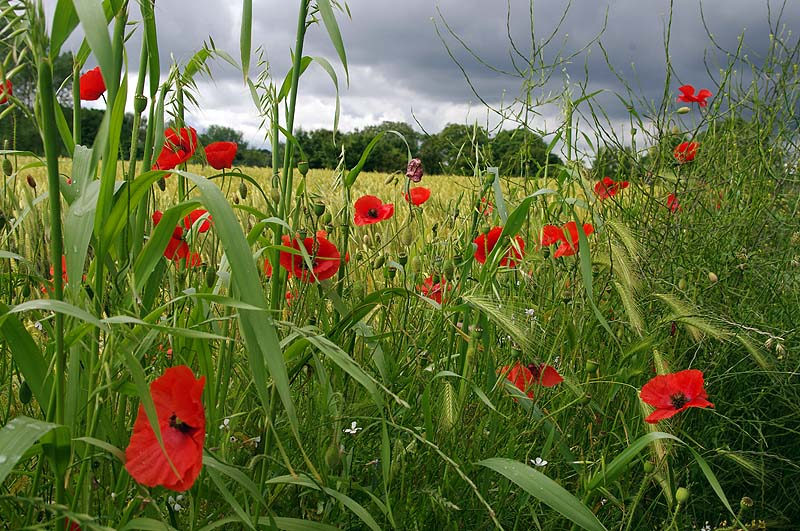 Poppies at Lawford